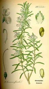 rosmarinus-officinalis