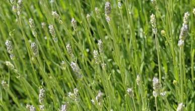 wolllavendel